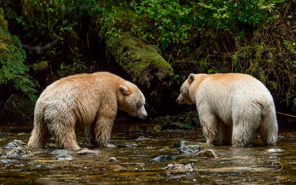 Two Spirit Bears fishing