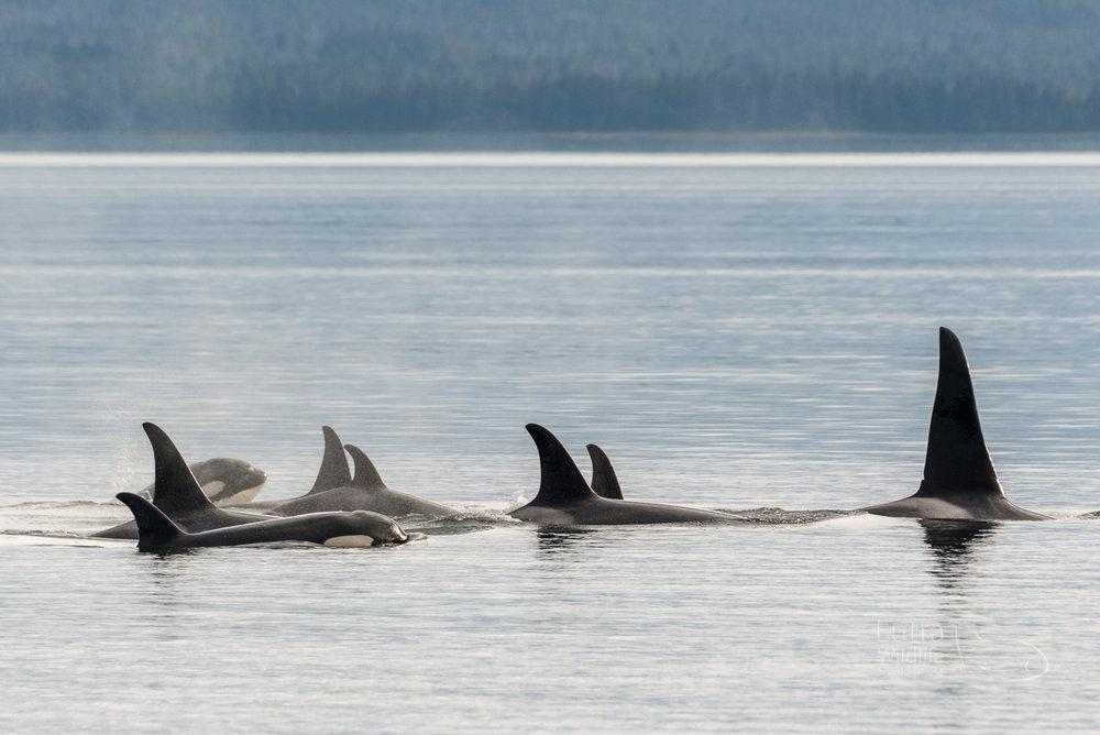 Alaskan Resident Killer Whales