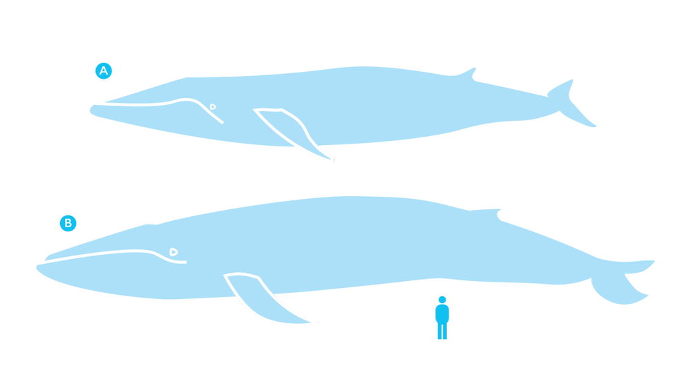 A) Fin whale (Balaenoptera physalus) & B) Blue whale (Balaenoptera musculus)