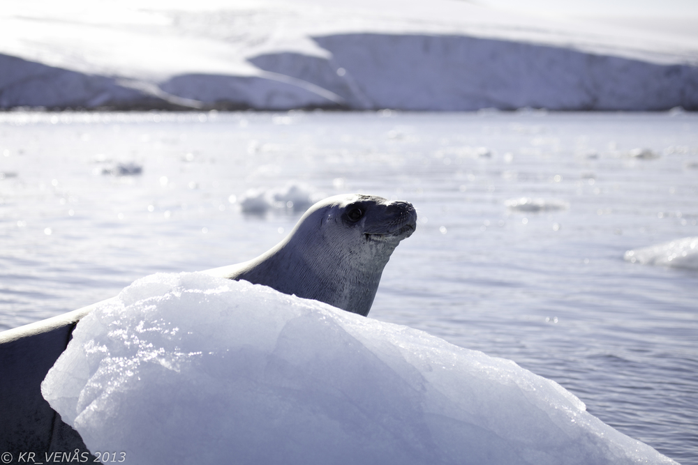 Ridley Corporation has donated funds to The Antarctic Wildlife Research Fund to support its research into the Antarctic ecosystem and wildlife. (Photo: K. R. Venaas)