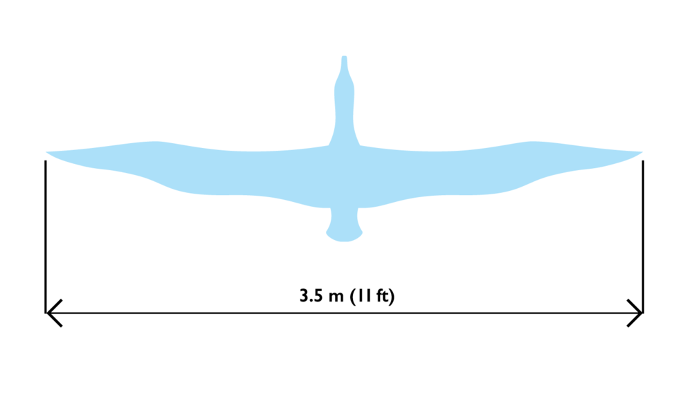 The wingspan of an albatross