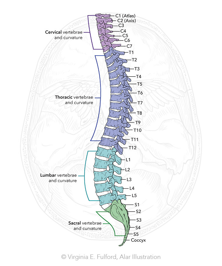 Lateral Spine color web.jpg