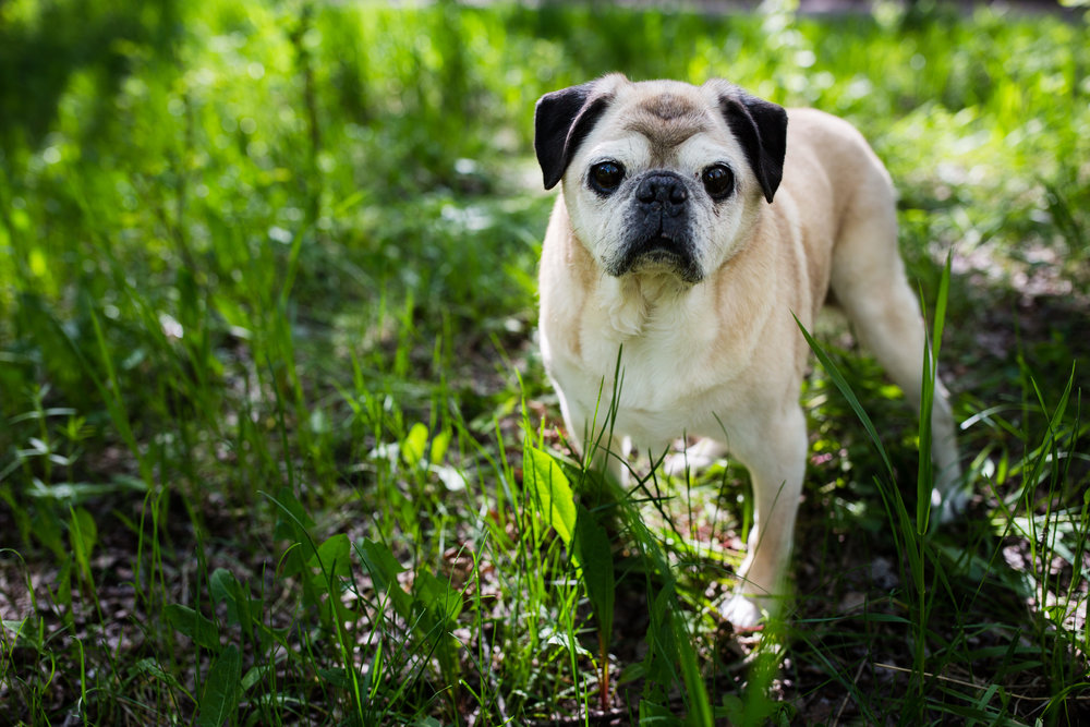 pug dog in grassy field
