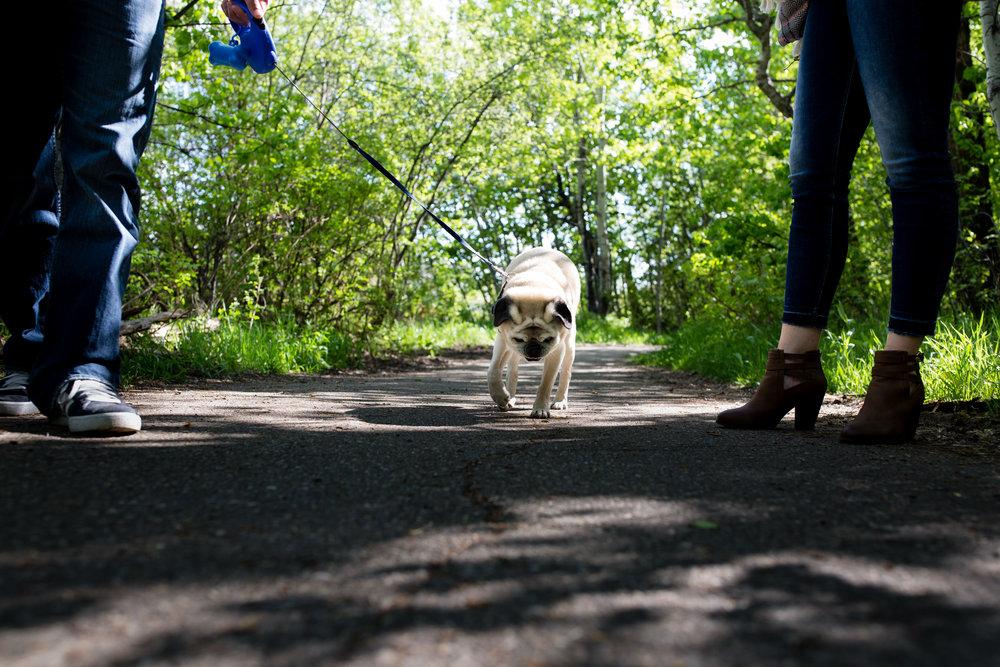 pug dog on a walk