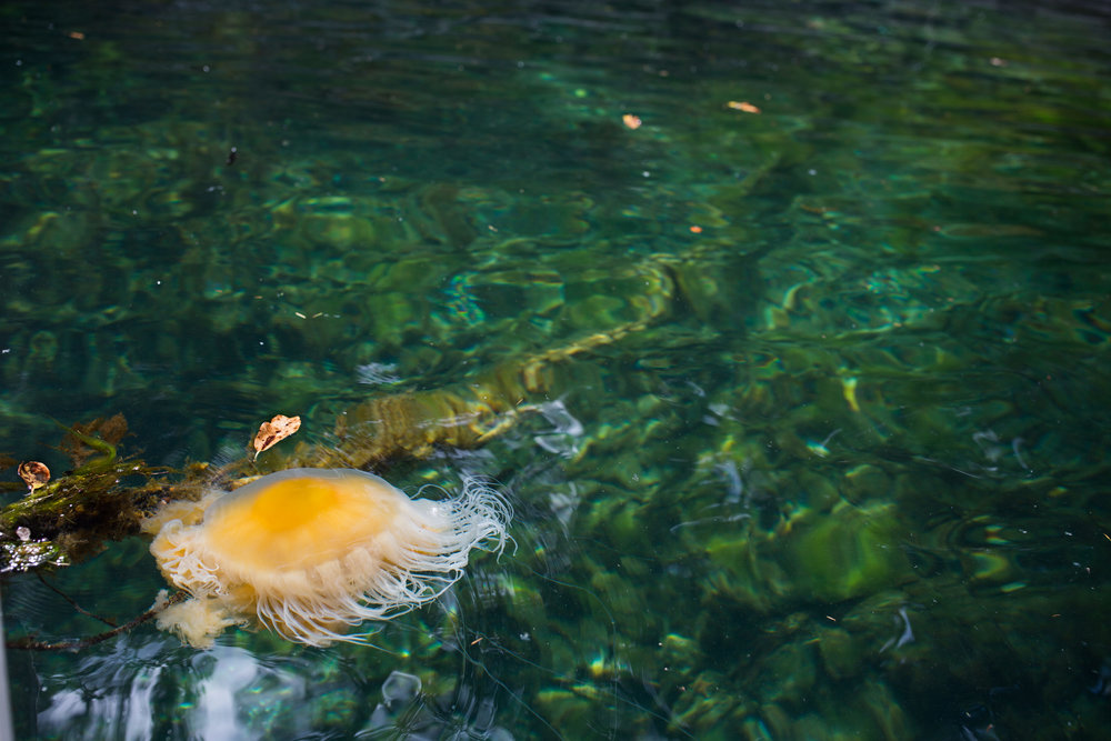 yellow jelly fish swimming in the sea