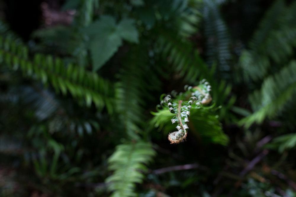 vancouver island ferns