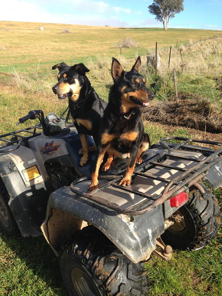 Nip and Gin always ready to work - Valley Boers