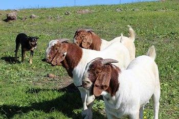 Nip in action - Valley Boers