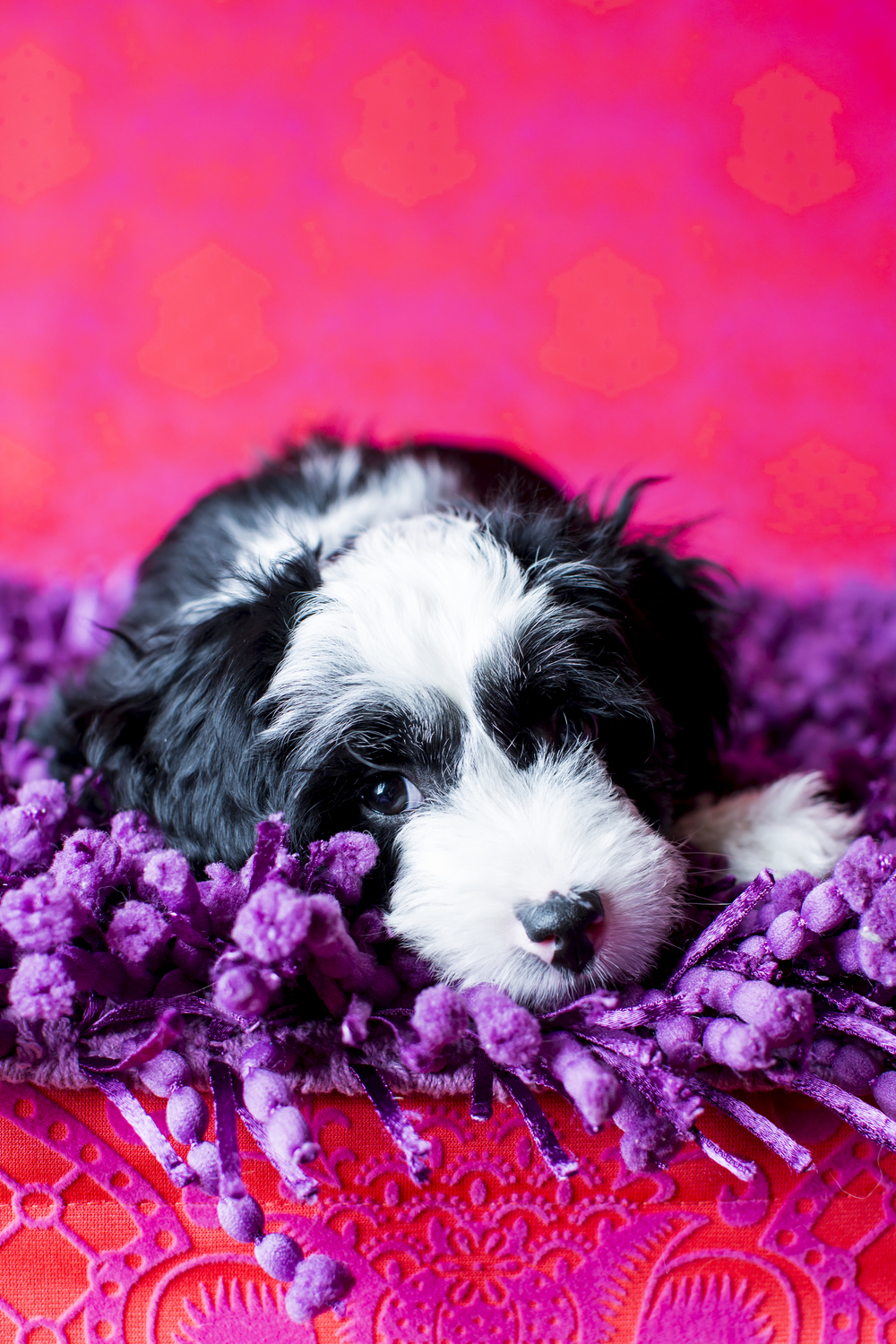 04 White and black puppy studio pet photography session hot pink laying on purple shag rug.jpg