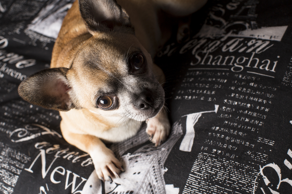 07 Chihuahua dog on location pet photography studio session paris industrial bedding.jpg
