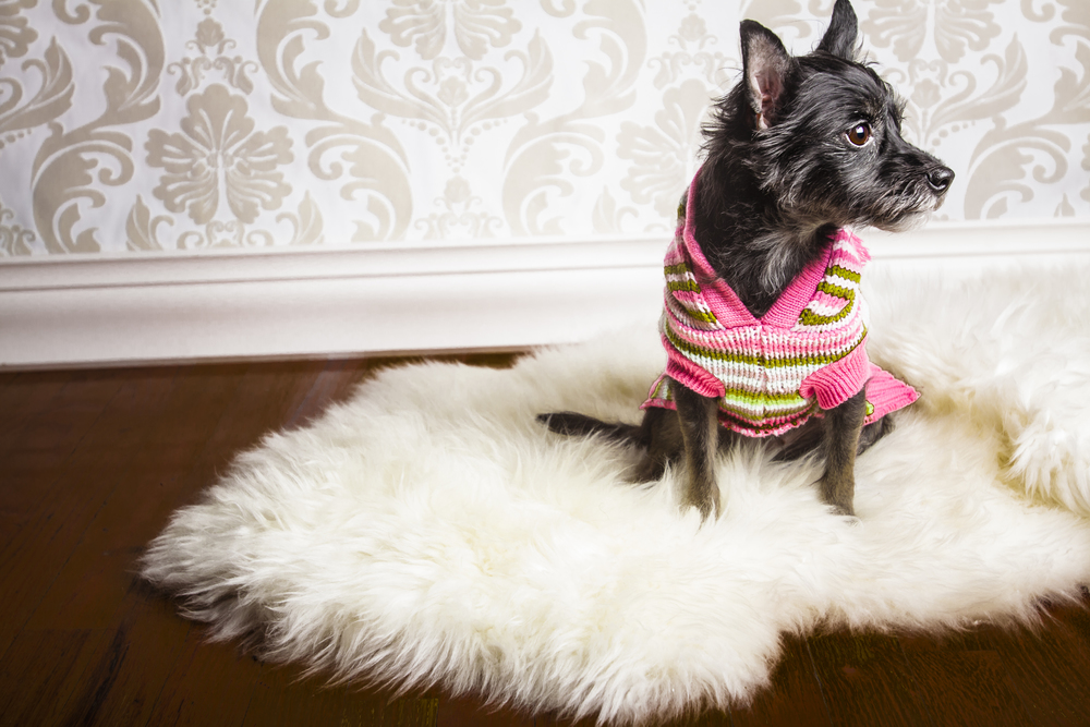 11 Small dog holiday studio pet photography session vintage background  with sweater on white fur rug.jpg