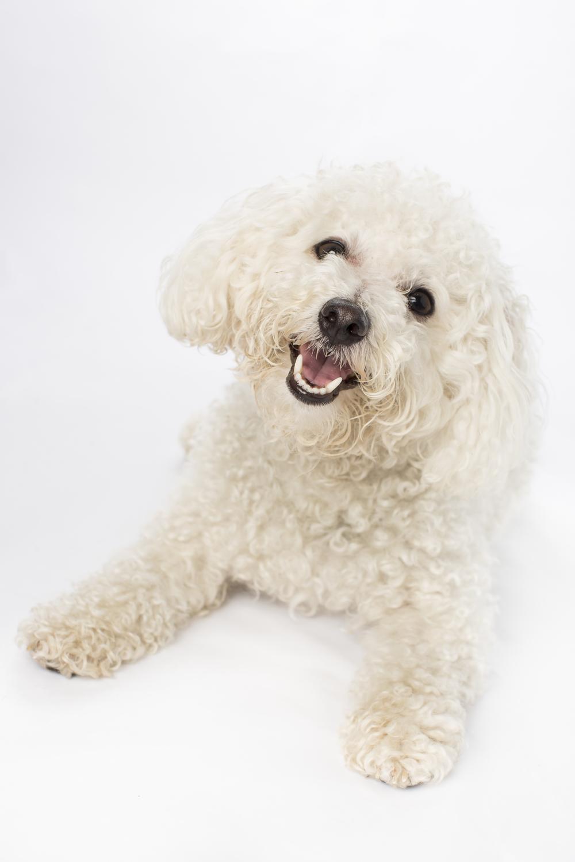 16 Happy white poodle puppy dog studio pet photography session on white.jpg