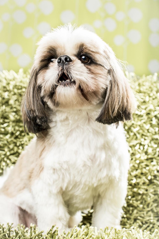 18 Shih tzu dog studio pet photography session on green vintage background.jpg