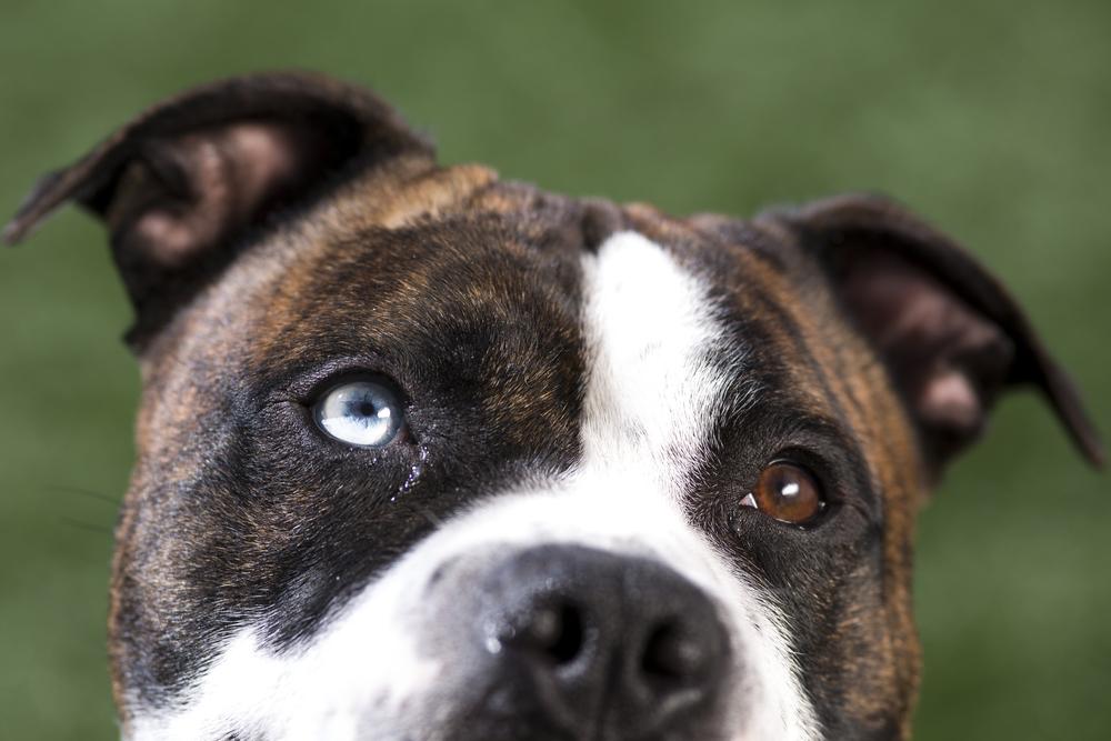 22 Bulldog mix outdoor dog pet photography session green grass beautiful eyes.jpg