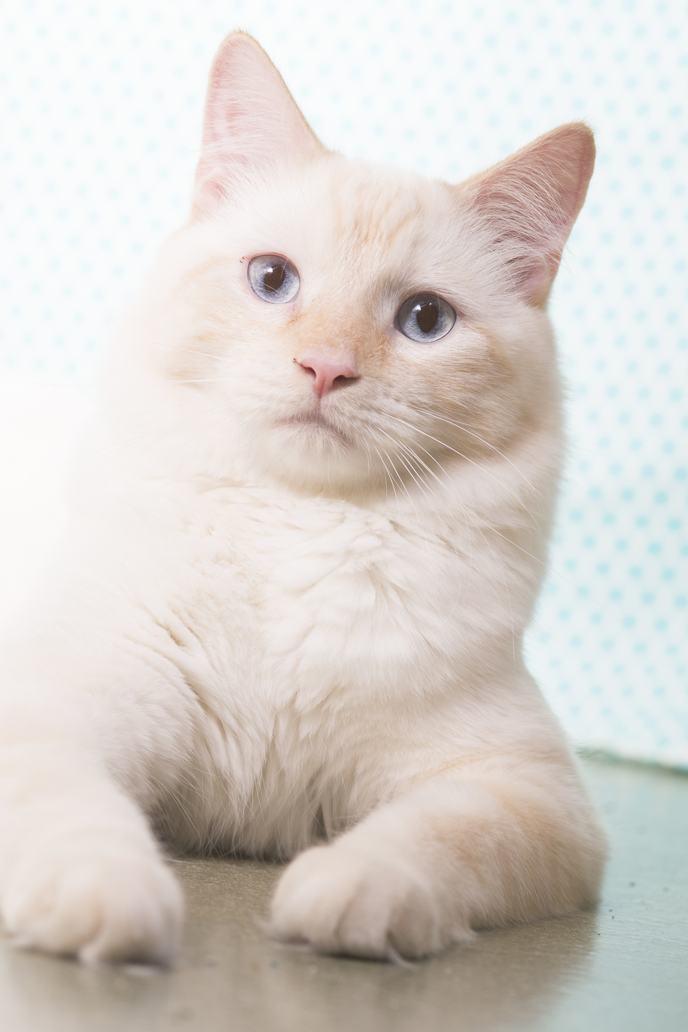 06 white cat pet photography studio session on blue polka dot fabric.jpg