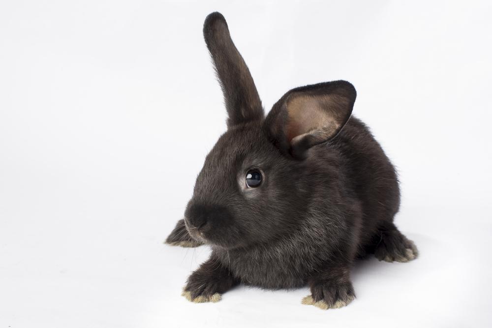 17 black bunny rabbit pet photography studio session on white 2.jpg