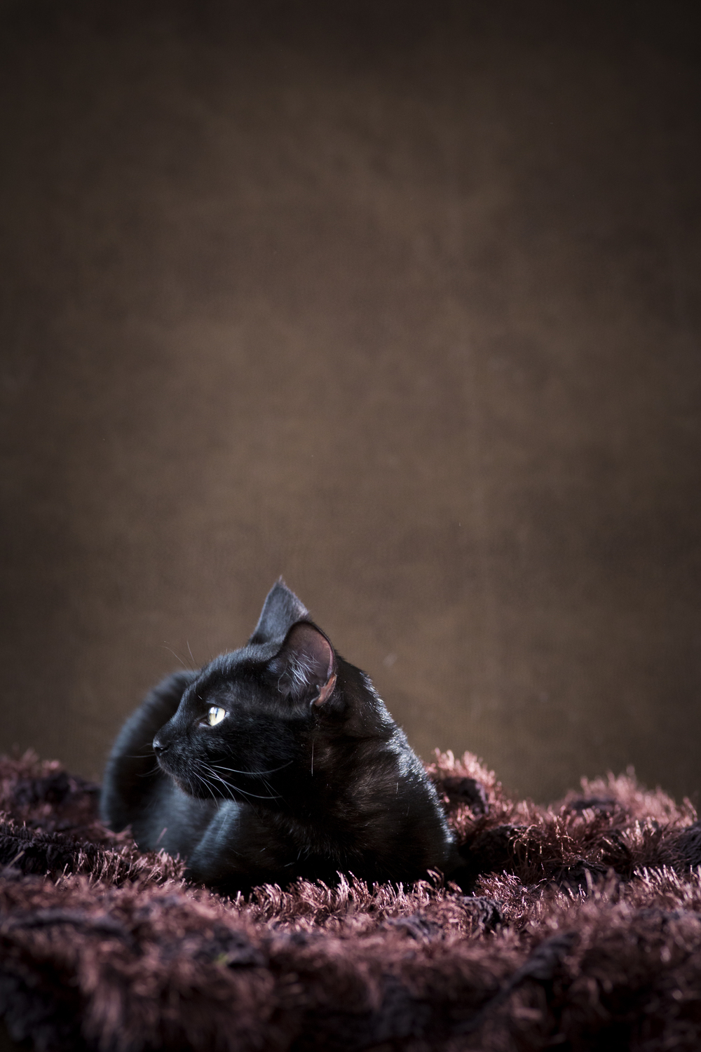 33 black cat pet photography studio session on brown fur rug with leather background.jpg