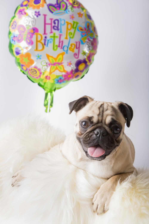 02 Pug birthday balloon pet photography studio session on white fur rug.jpg