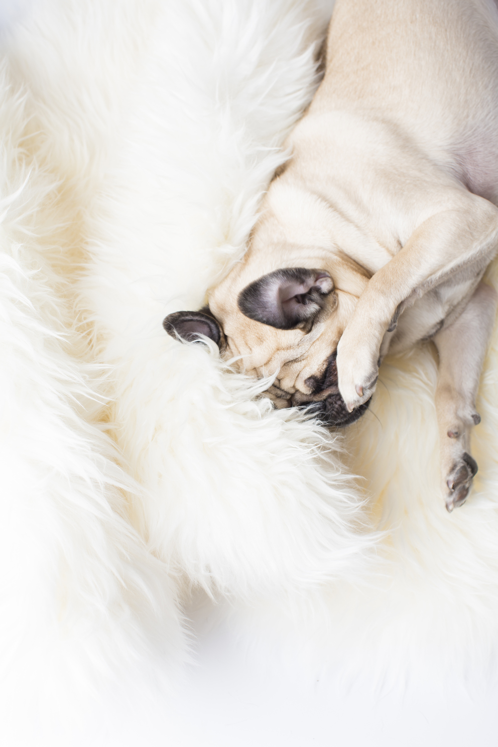 15 Pug rolling playing paw on white fur rug pet photography studio session.jpg