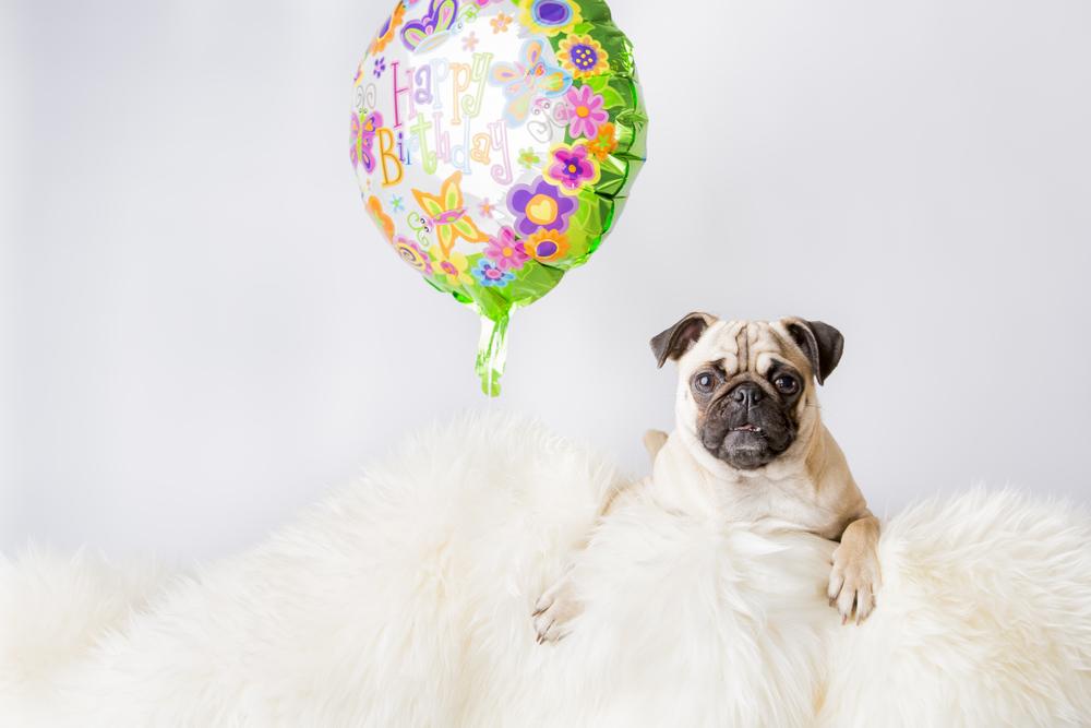 17 Pug birthday balloon pet photography studio session on white fur rug funny.jpg