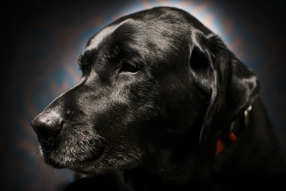 24 Black lab studio pet photography session vintage background moody.jpg