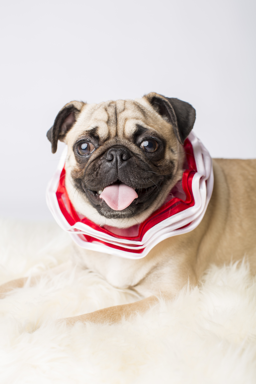 48 Happy pug holiday christmas collar pet photography studio session on white fur rug.jpg