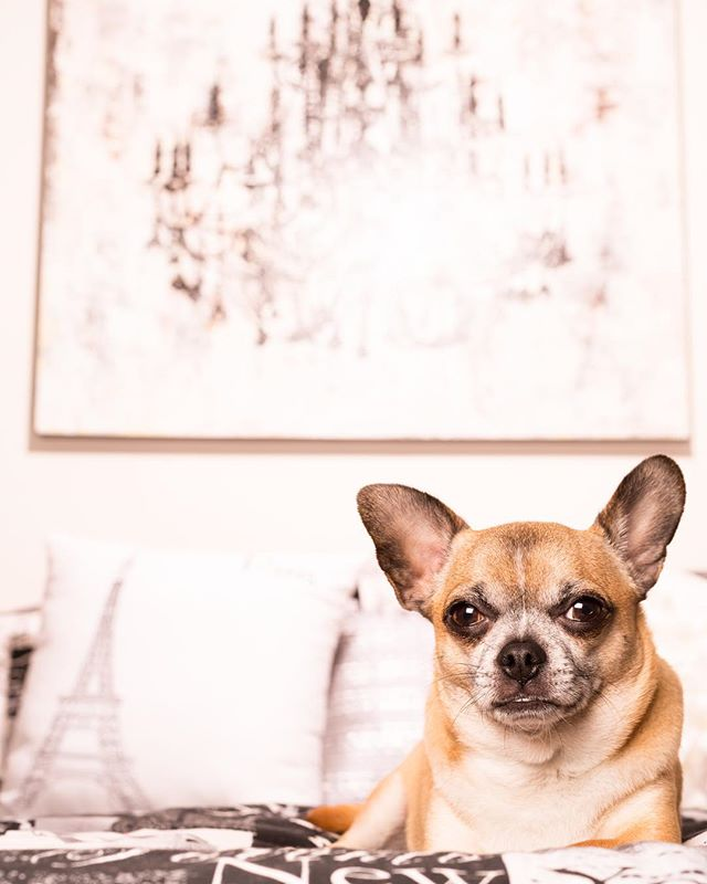 I #lovelovelove it when a client loves to decorate as much as I do!! When I walk into a home that is styled with cohesive themes and color palettes, I feel like a kid in a candy store. It makes it super fun to scope out great spots to pose your furry companion. This shot was taken in the clients' Parisian themed bedroom. . . . . #environmentalportrait #petportrait #dogportrait #parisiandecor #industrialchic #petphotography #dogphotographer #denverdogs #inhomeportrait #studiolighting #bringthestudiotoyou #animalcompanions #chihuahua #chihuahuaportrait #chihuahuasofinstagram