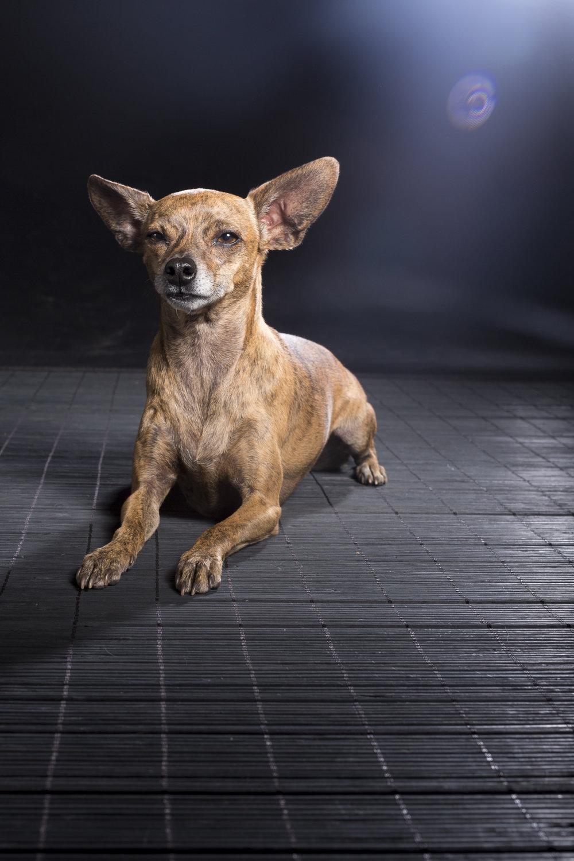 Bebe_chihuahua_dog_portraits-2582.jpg