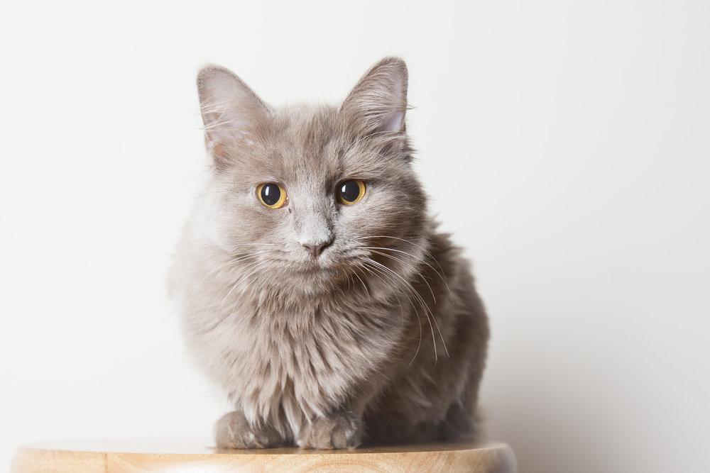 05 tan long hair cat pet photography studio session on white wall.jpg