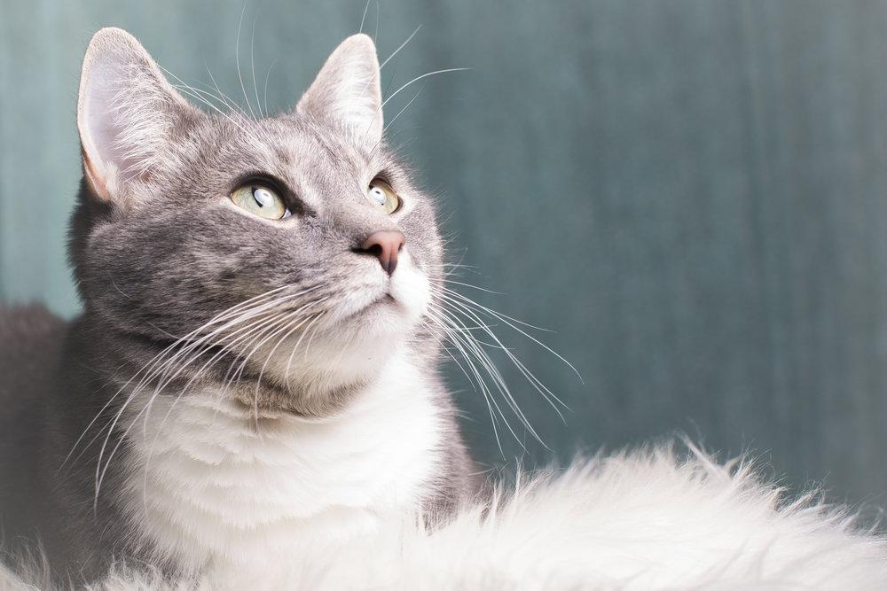 09 grey tiger striped cat pet photography studio session on white fur rug.jpg