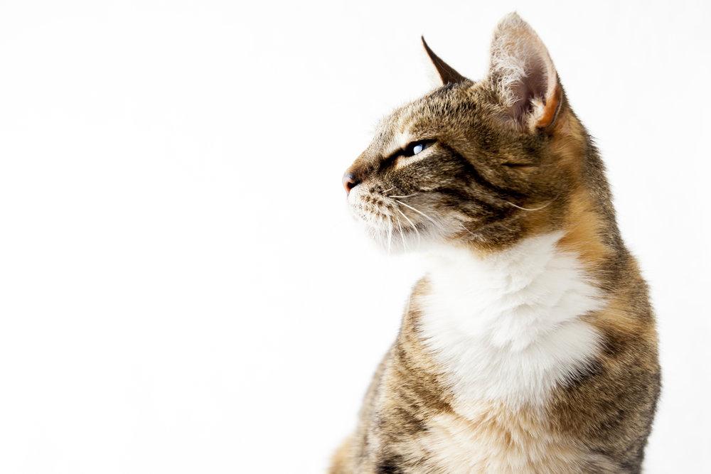 15 vixen eyes calico cat pet photography studio session on white.jpg
