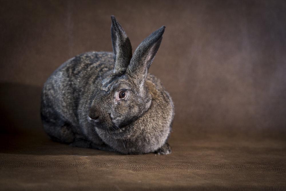 35 beautiful tan and black bunny rabbit pet photography studio session on worn leather fabric.jpg