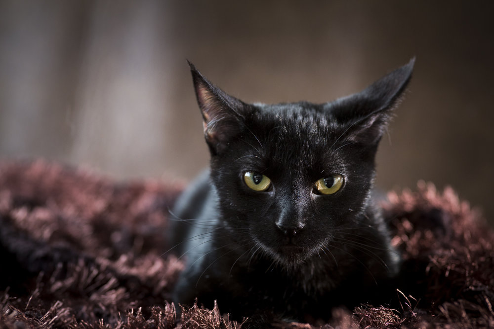 36 black cat pet photography studio session on brown fur rug with leather background cool eyes.jpg