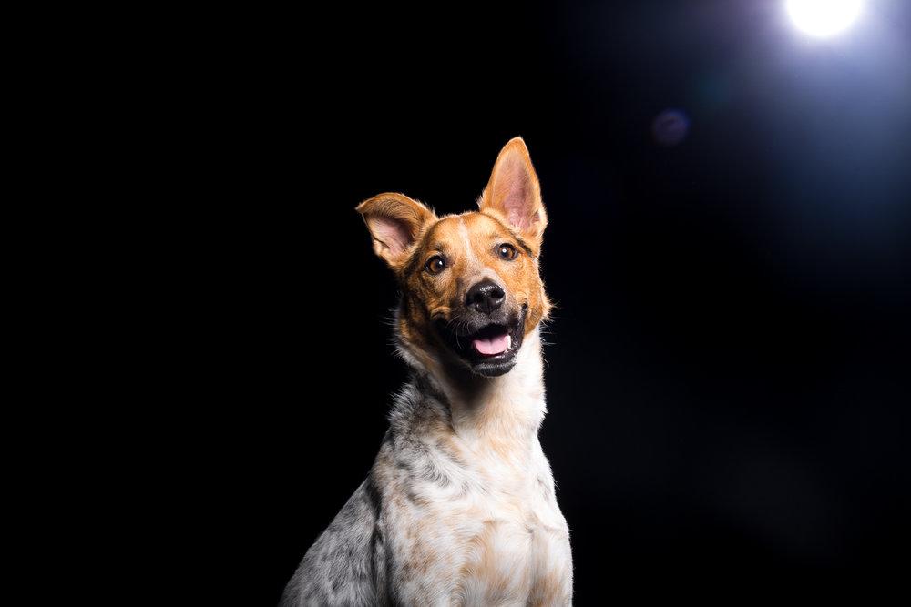 14_Dog_Portraits_Pet_photography_Denver_Studio-2134.jpg