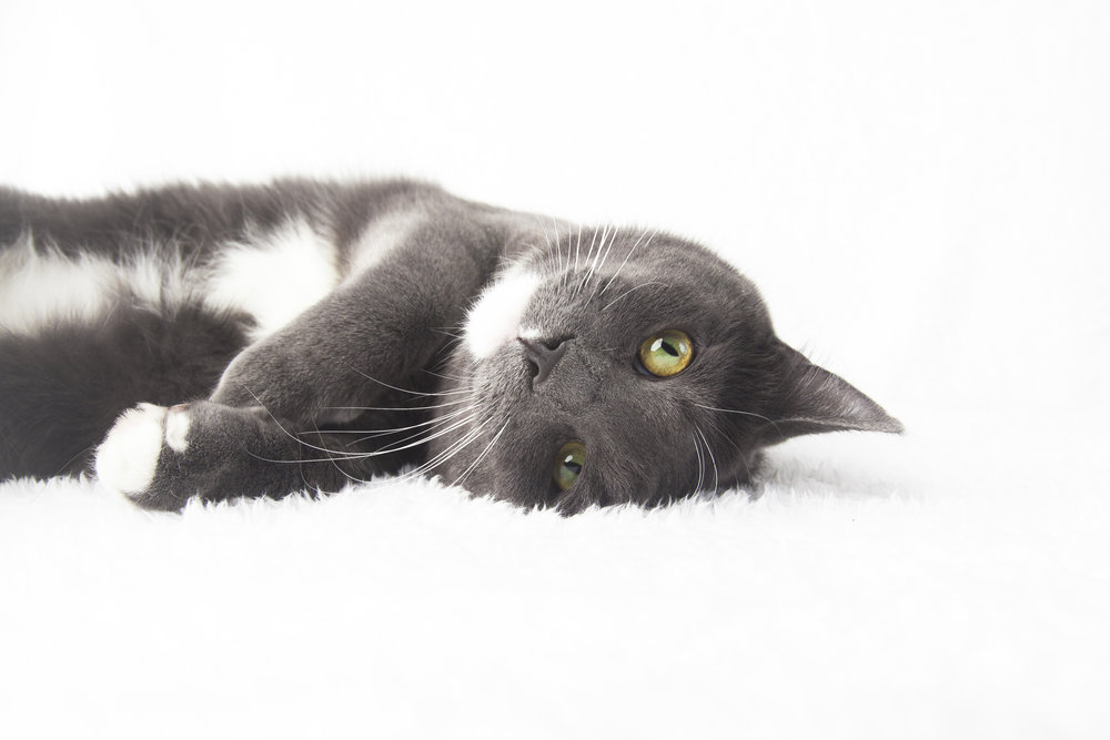 18 grey and white cat pet photography studio session on white fur rug laying down.jpg