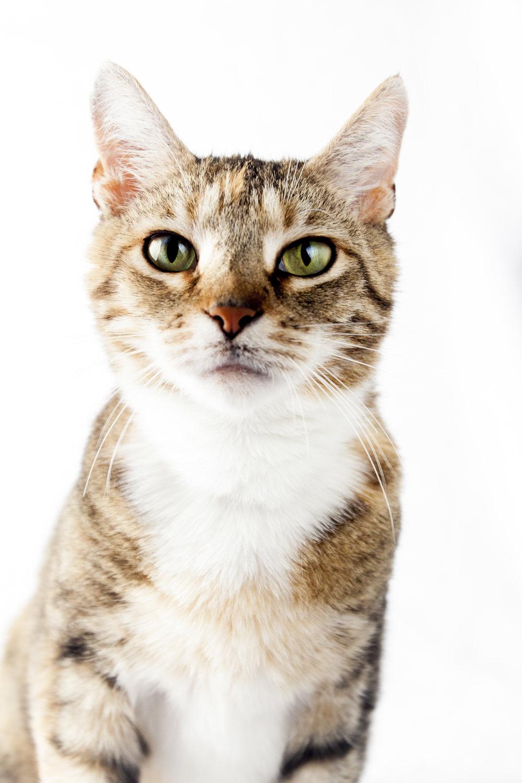 27 calico cat pet photography studio session on white.jpg