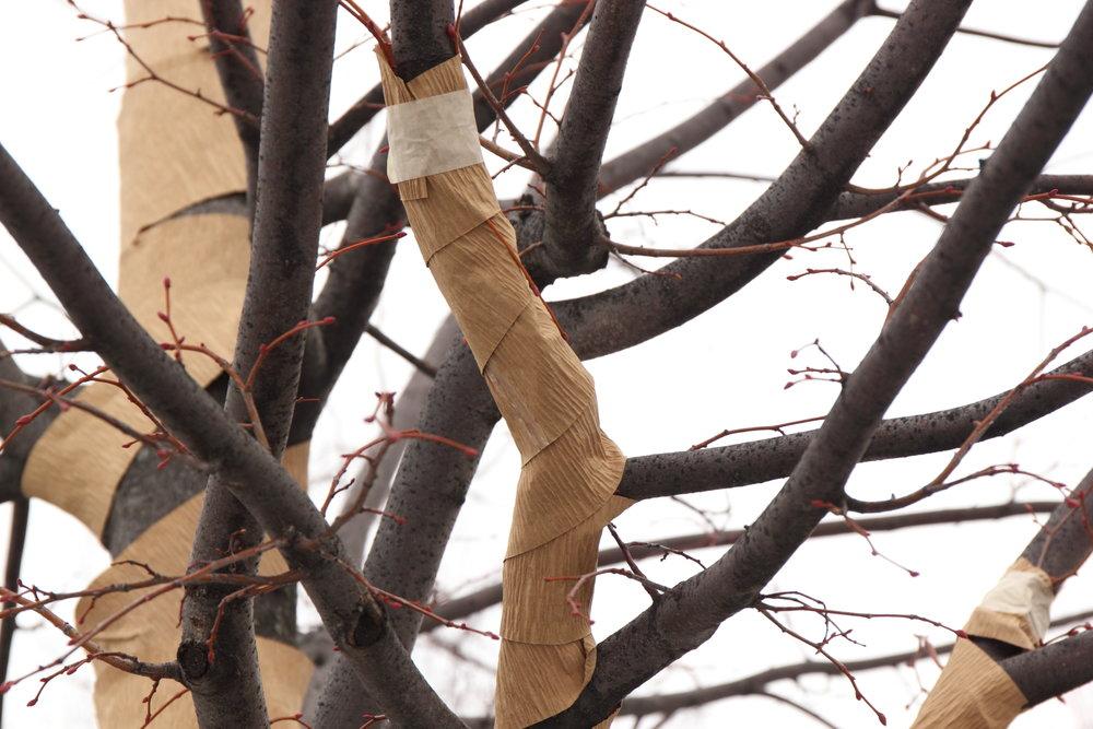 IMG_4358_2400 2018-01-11 Tree Wrapping.JPG
