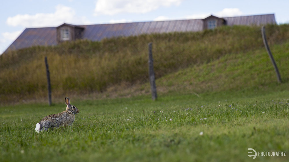 The aforementioned bunny rabbit. One rabbit, two barn dormers and three fence posts - I liked the composition and was already laying on the ground for the train shot - it just seemed to align itself. I love when that happens!