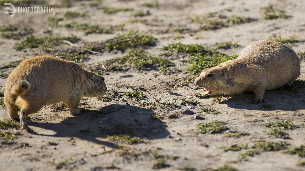 Some of the prairie dogs weren't exactly getting along...