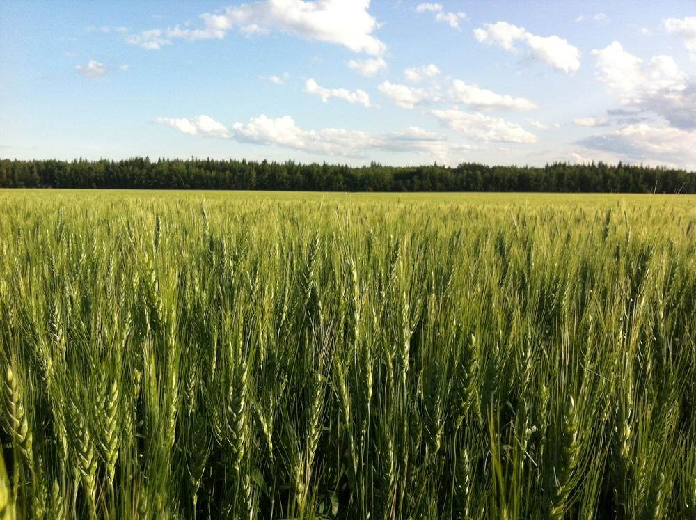 IMG_4640_barley_foreground.JPG