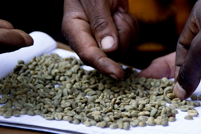 "Sorting specialty coffee is by hand to eliminate over- and under-ripe beans called ""stinker"" that, well, have an unpleasant effect in the cup."