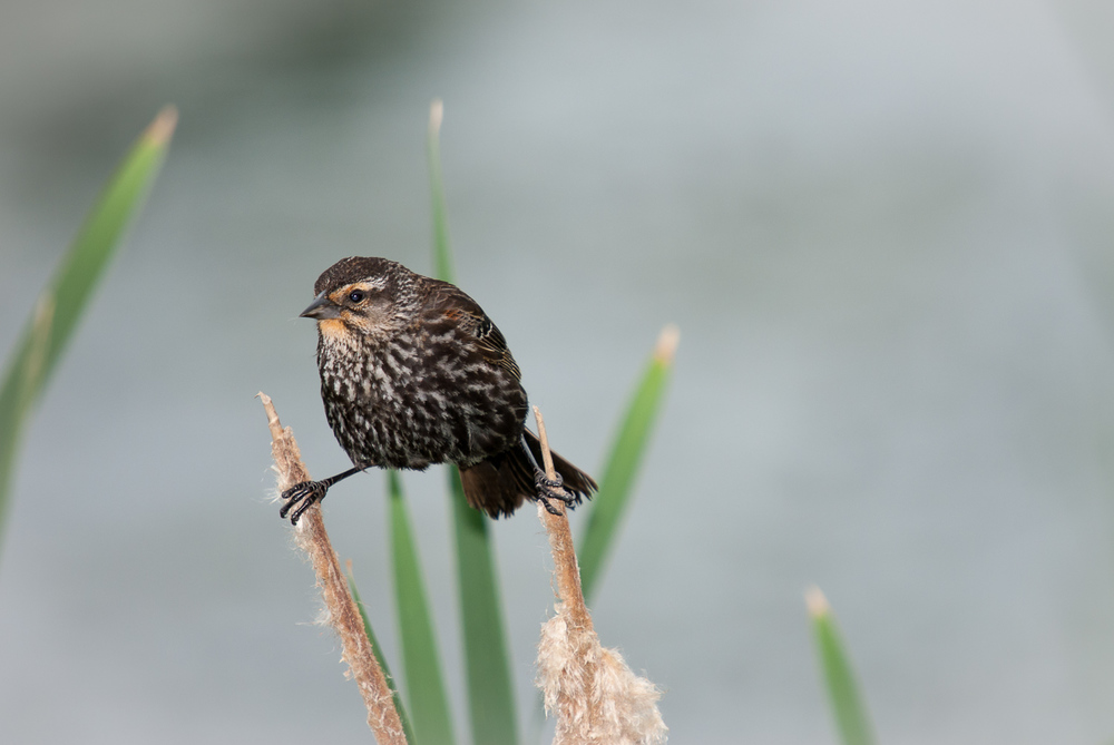 RED-WINGED BLACKBIRD ♀️