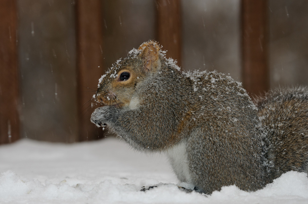 squirrelsnowcrystals