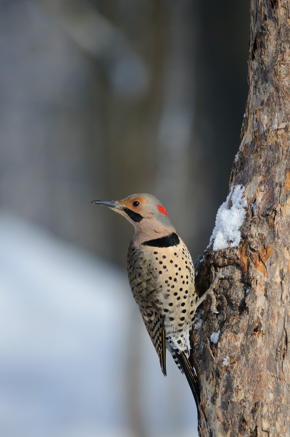 YELLOW-SHAFTED NORTHERN FLICKER ♂️