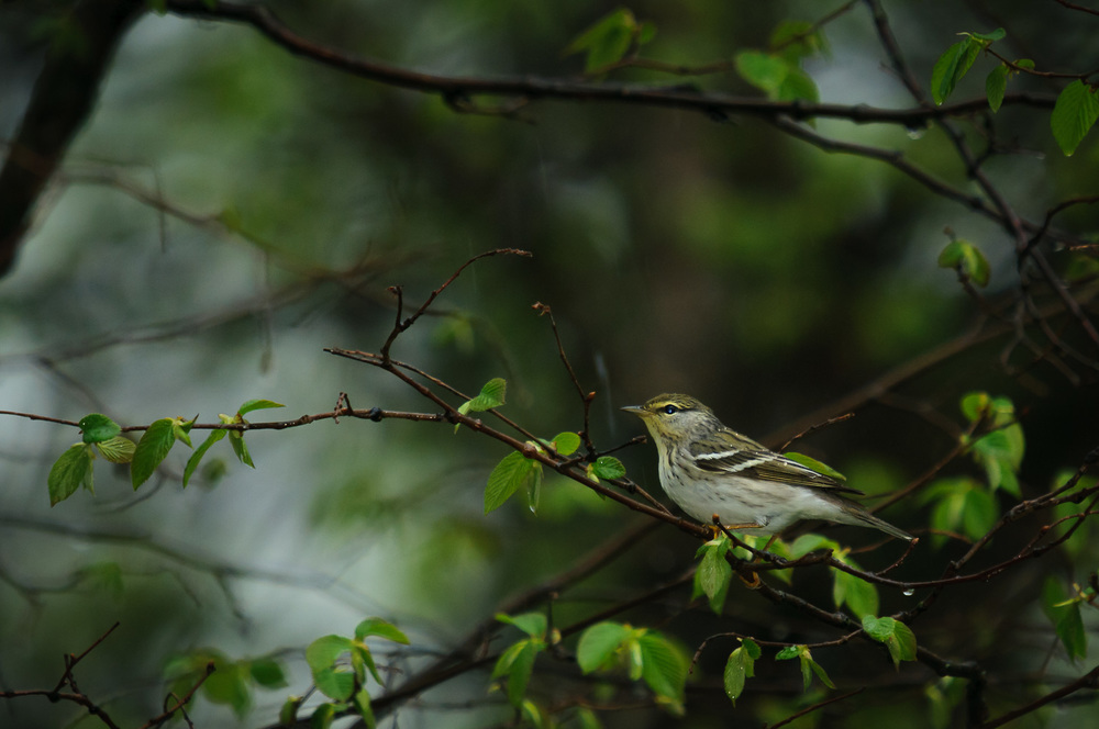 BLACKPOLL WARBLER, FEMALE