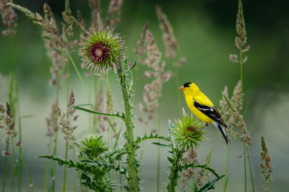 AMERICAN GOLDFINCH, MALE, SUMMER