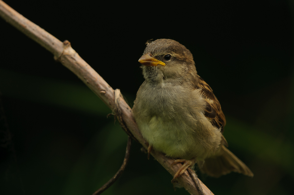 HOUSE SPARROW, JUVENILE
