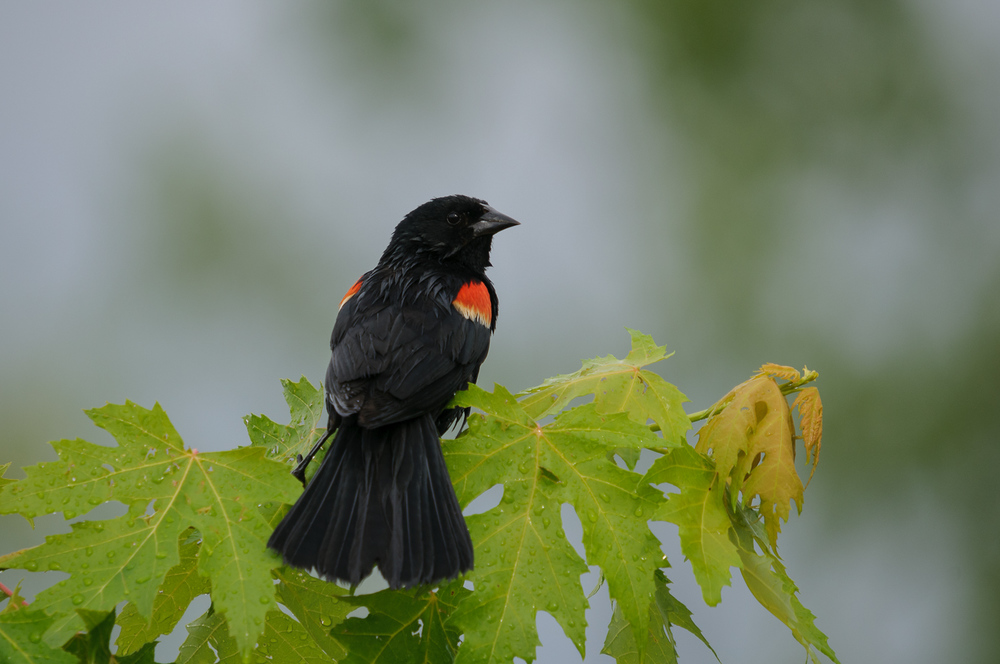 RED-WINGED BLACKBIRD ♂️