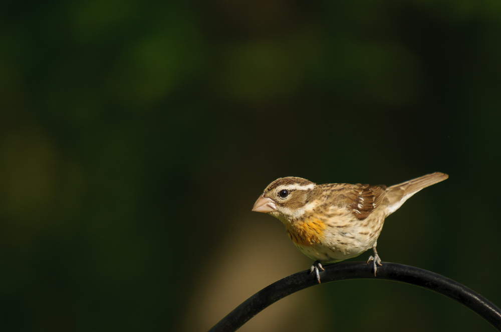 ROSE-BREASTED GROSBEAK, FEMALE