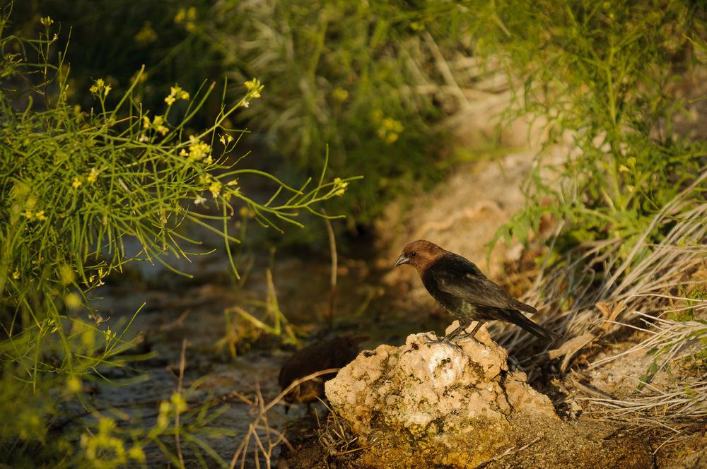 BROWN-HEADED COWBIRD ♂️